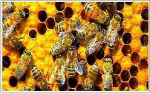 Las distintas funciones de las abejas se expresan en su genoma.