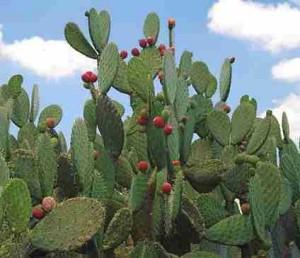 BIOPIRATERIA: los nopales mexicanos podrían ser patentados por los chinos.