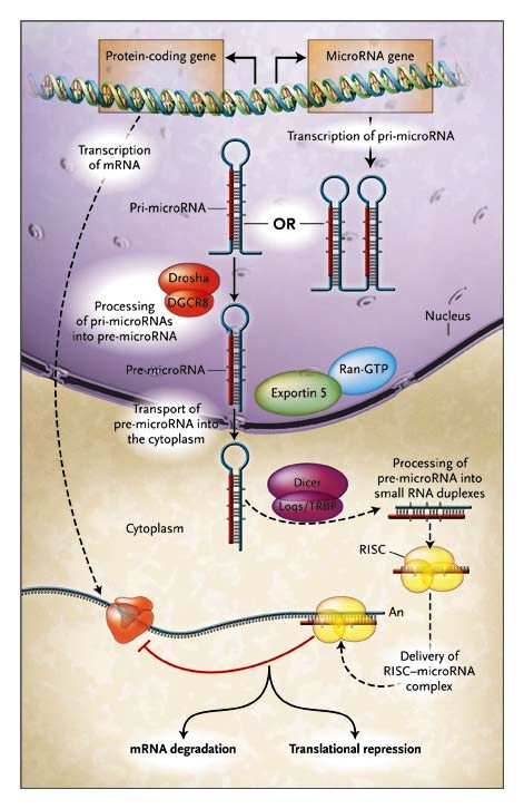 microRNA_formacion