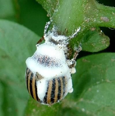 Insecto infectado y atacado por el hongo Beauveria bassiana