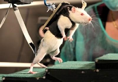 raton_caminando