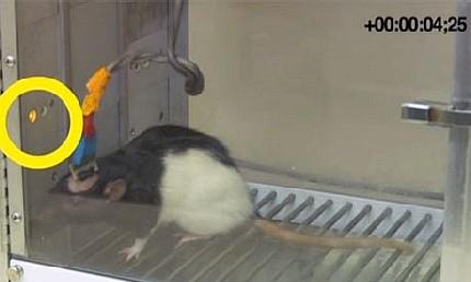 ratas_conectadas
