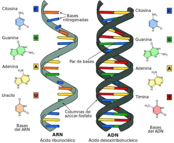 diferencia_DNA_RNA