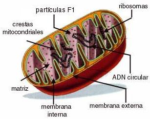 mitocondria_esquema