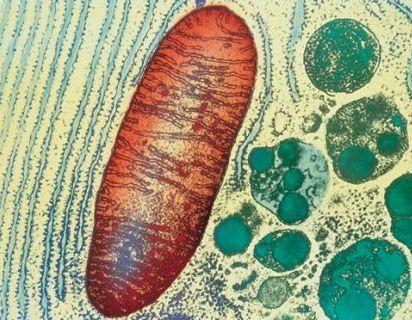 mitocondria_microfoto