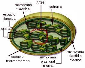 Estructura cloroplasto