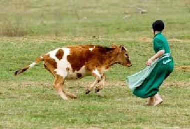 amish-vaca