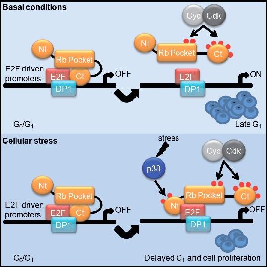Resumen visual de la investigación. RB es fosforilada y inactivada por CDK. Gubern et al. demuestran que la fosforilación del extremo N-terminal de RB por parte de p38 ante estrés restringe la actividad transcripcional de E2F, mejorando la supervivencia celular. Esta fosforilación o las mutaciones que la imitan hacen que RB anule la inactivación de CDK y que sea capaz de bloquear proliferación de las células cancerosas. / DCEXS-UPF