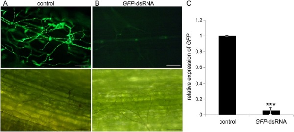 Fig 1. (A-C) Spray-induced gene silencing (SIGS) of GFP expression in Fusarium graminearum strain Fg-IFA65GFP