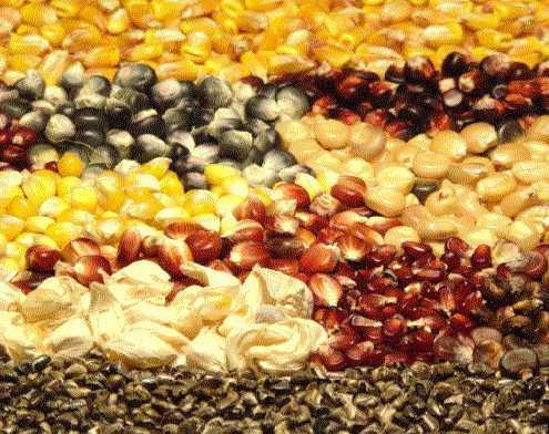 maiz-mexico1