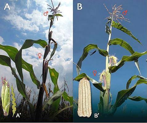 Teosinte – Teocintle (A) y Maíz (B). (Dpto. Biodiversidad del Gobierno de México)